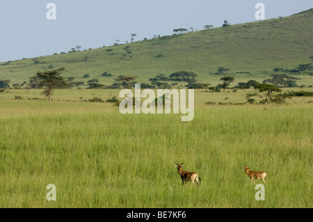 Swayne's hartebeest (Alcelaphus buselaphus swaynei), Senkele Game sanctuary, Ethiopia - Stock Photo