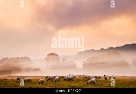 A flock of sheep in a field on a moody atmospheric evocative misty autumn morning in the Kennet Valley near Axford, - Stock Photo