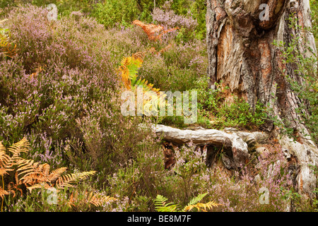 Close up heather and bracken at base of tree on forest floor in caledonian pine forest at Loch an Eilein, Cairngorms - Stock Photo