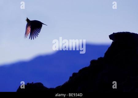 Silhouet van vliegende kuifleeuwerik tegen blauwe avondlucht; Silhouete of flying Crested lark against a blue evening - Stock Photo
