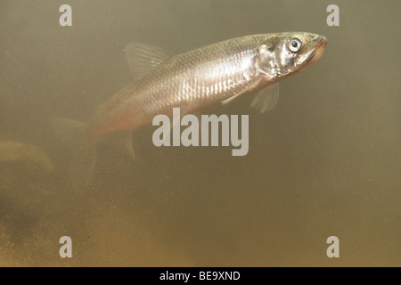 photo of an adult European smelt swimming in muddy water - Stock Photo