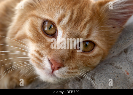 Ginger cat, cat, whiskers, yellow eyes, lion, lions head, lion pose, pink nose, ginger, regal cat, cats eyes, cat - Stock Photo