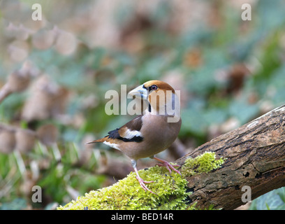 MALE HAWFINCH COCCOTHRAUSTES PERCHED ON A MOSS LOG SPRING TIME WEST SUSSEX UK - Stock Photo