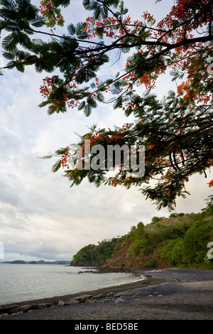 Flowering Royal Poinciana trees line the black volcanic sand beach in Playa Ocotal, Guanacaste Province, Costa Rica. - Stock Photo