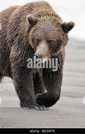 Stock photo vertical image of an Alaskan brown bear walking across the beach. - Stock Photo
