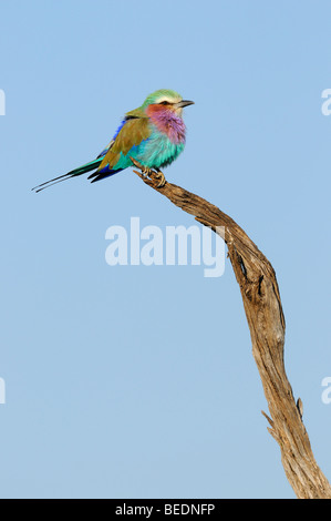 Lilac-breasted Roller (Coracias caudata) on its perch, Masai Mara Nature Reserve, Kenya, East Africa - Stock Photo