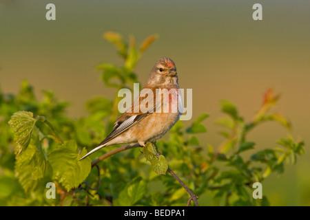Linnet (Acanthis cannabina) - Stock Photo