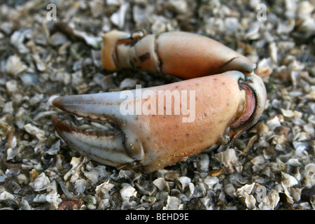 Claw Of A Common Shore Crab Carcinus maenas On The Beach At New Brighton, Wallasey, The Wirral, Merseyside, UK - Stock Photo