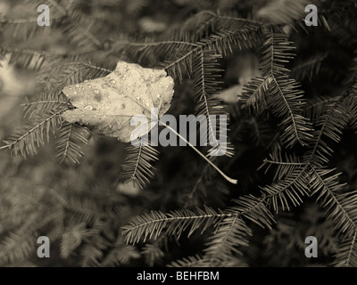 Covered with dew drops fallen maple leaf on Balsam fir - Stock Photo
