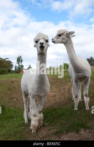 ALPACAS, TASMANIA, AUSTRALIA - Stock Photo