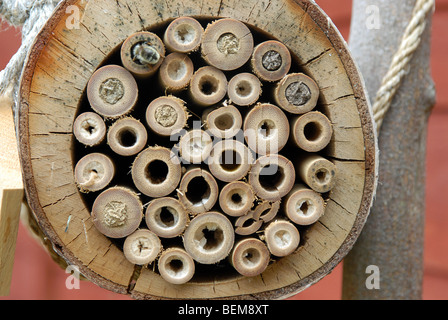 A bamboo home for solitary bees with nests made by mason bees, Osmia Rufus. - Stock Photo