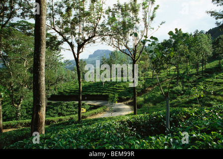 Tea plantation, mongoose crossing path in distance, Darjeeling, India - Stock Photo