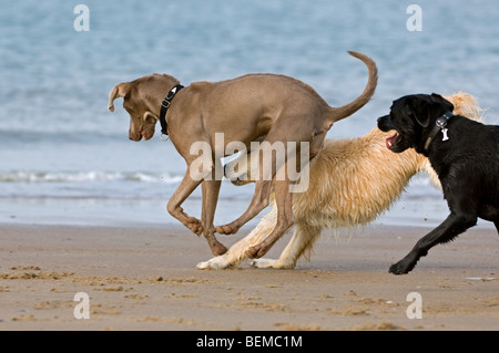 Playful Golden retriever and labrador retriever playing with other dog on beach along the North Sea coast - Stock Photo