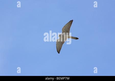 Kestrel, Falco tinnunculus - Stock Photo