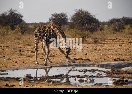 Giraffe drinking from a waterhole in Etosha National Park, Namibia, Africa. - Stock Photo