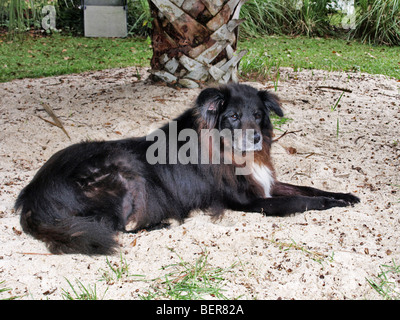 black white and brown dog canine sitting in sandpile mixed breed chow and border collie - Stock Photo