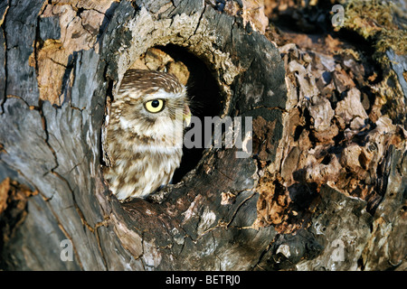 Close up of nesting Little owl (Athene noctua) sticking head out to peer from nest hole in hollow tree cavity, England, - Stock Photo