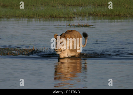 Lioness tentatively crossing the channel in Linyanti Concession, Botswana. - Stock Photo