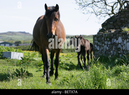 brown bay horse in a field in Wales - Stock Photo