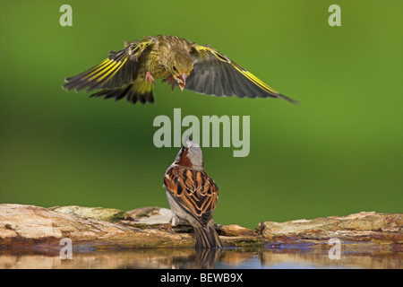 European Greenfinch (Carduelis chloris) attacking Sparrow (Passer) from the air, close-up - Stock Photo