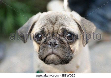 pug, portrait - Stock Photo