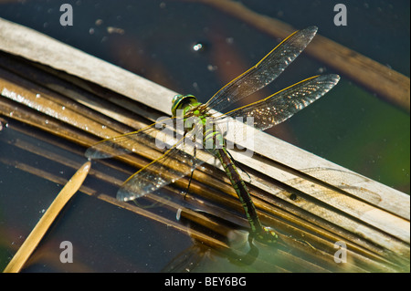 green blue brown dragon fly dragonfly reproduction eggs laying in water plant big dragon fly egg dragonfly sitting - Stock Photo
