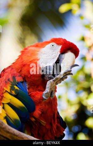 A colorful 'Scarlet Macaw' perched on a branch at the 'San Diego Zoo' in 'San Diego,' 'California.' - Stock Photo