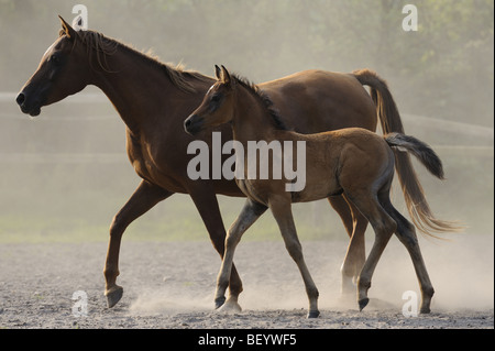 Arabian Horse (Equus caballus), mare with foal in a paddock. - Stock Photo