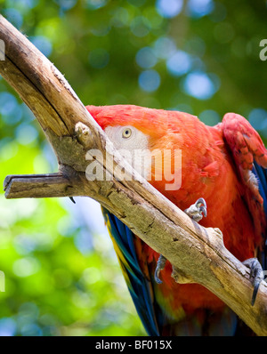 A shy and colorful 'Scarlet Macaw' plays peek-a-boo on a branch at the 'San Diego Zoo' in 'San Diego,' 'California.' - Stock Photo