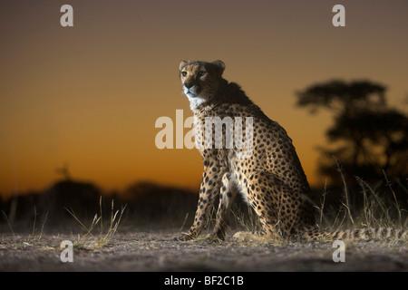 Cheetah (Acinonyx jubatus) sitting, Namibia. - Stock Photo