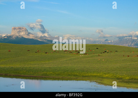 Mixed breed cows and calves grazing on a green foothill pasture with the Canadian Rockies in the background / Alberta, - Stock Photo