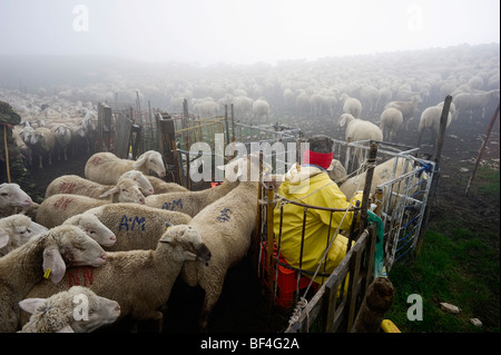 Vet examining a flock of sheep in the early morning in the Monte Sibillini mountains, Apennines, Le Marche, Italy, - Stock Photo