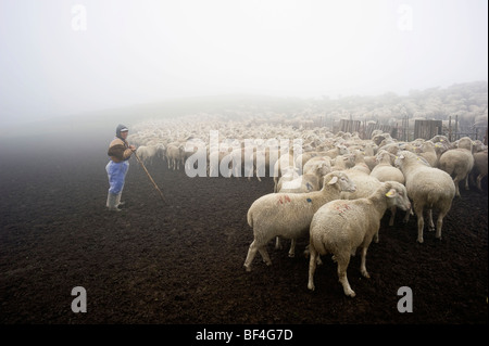 Flock of sheep in the early morning in the Monte Sibillini mountains, Apennines, Le Marche, Italy, Europe - Stock Photo