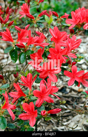 Rhododendron 'Addy Wery' AGM Japanese Azalea - Stock Photo