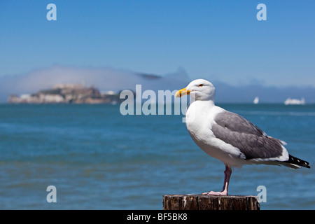 Seagull in front of Alcatraz, the former prison island, San Francisco, California, USA, America - Stock Photo