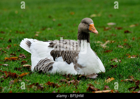 Grey Lag Goose (Anus anus anus) resting in early morning sunshine surrounded by Autumn leaves - Stock Photo