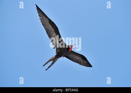 Great Frigatebird (Fregata minor), male in flight, Seymour Norte Island, Galapagos Islands, Ecuador, South America - Stock Photo