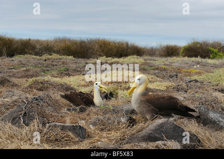 Galapagos Albatross (Diomedea irrorata), pair on nest, Espanola Island, Galapagos, Ecuador, South America - Stock Photo