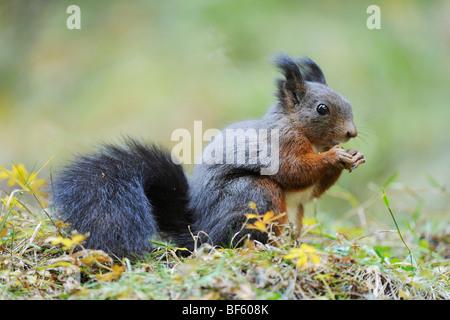 Red squirrel (Sciurus vulgaris), adult black phase, Switzerland, Europe - Stock Photo