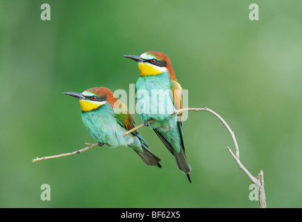 European Bee-eater (Merops apiaster),adults perched, Hungary, Europe - Stock Photo