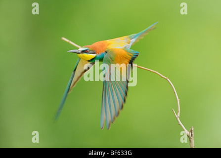 European Bee-eater (Merops apiaster), adult take off, Hungary, Europe - Stock Photo