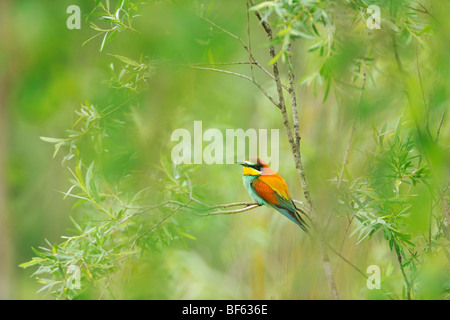 European Bee-eater (Merops apiaster), adult, Hungary, Europe - Stock Photo
