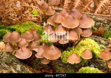 Oak Bonnet-Cap Mycena inclinata - Stock Photo