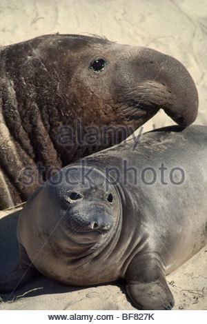 Northern elephant seal bull and pup, Mirounga angustirostris, Ano Nuevo State Reserve, California - Stock Photo