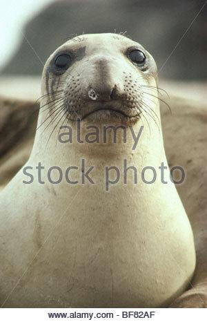 Northern elephant seal female, Mirounga angustirostris, Ano Nuevo State Reserve, California - Stock Photo