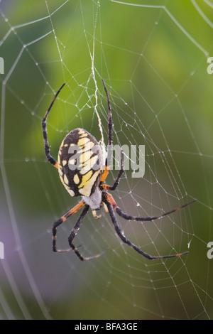 Yellow Garden Spider (Argiope aurantia), adult in web, Lillington, North Carolina, USA - Stock Photo