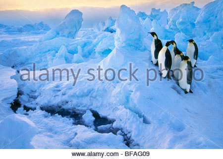 Emperor penguins at crack in sea ice, Aptenodytes forsteri, Antarctica - Stock Photo