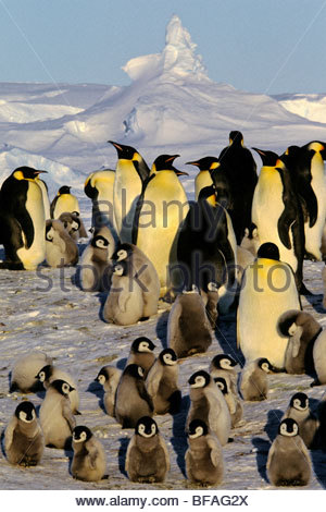 Adult emperor penguins with chicks, Aptenodytes forsteri, Antarctica - Stock Photo