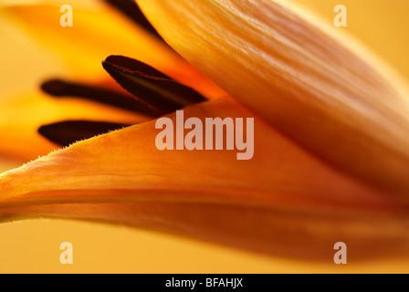 Lily, Hybrid, hybrid lily, lilium, stamen, pollen - Stock Photo