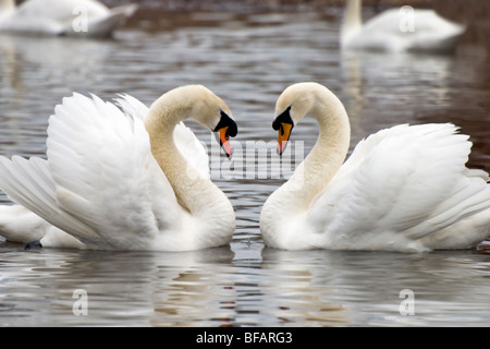 A pair of mute swans swimming in a heart shaped embrace - Stock Photo